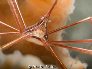 Arrow crab taken &quot;Under the bridge&quot; by Beate Seiler 
